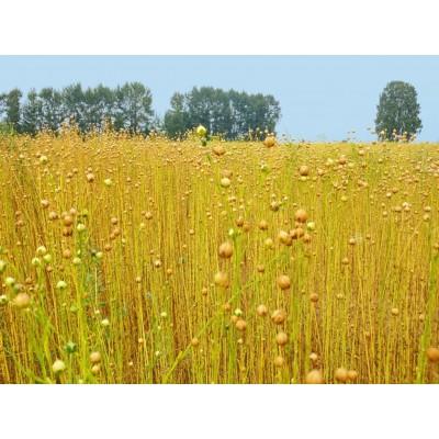 8 этапов превращения льняного растения в натуральное волокно